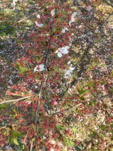 みやま公園の桜の様子