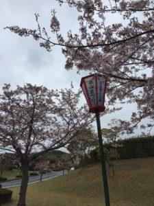 2018年4月5日みやま公園桜の様子その4