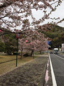 2018年4月5日みやま公園桜の様子その3