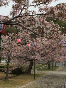 2018年4月5日みやま公園桜の様子その2
