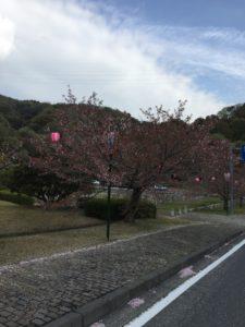 2018年4月7日みやま公園桜の様子その3