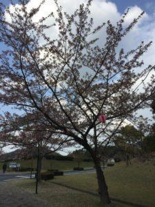 2018年4月7日みやま公園桜の様子その1