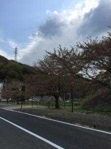 2018年4月7日みやま公園桜の様子その4