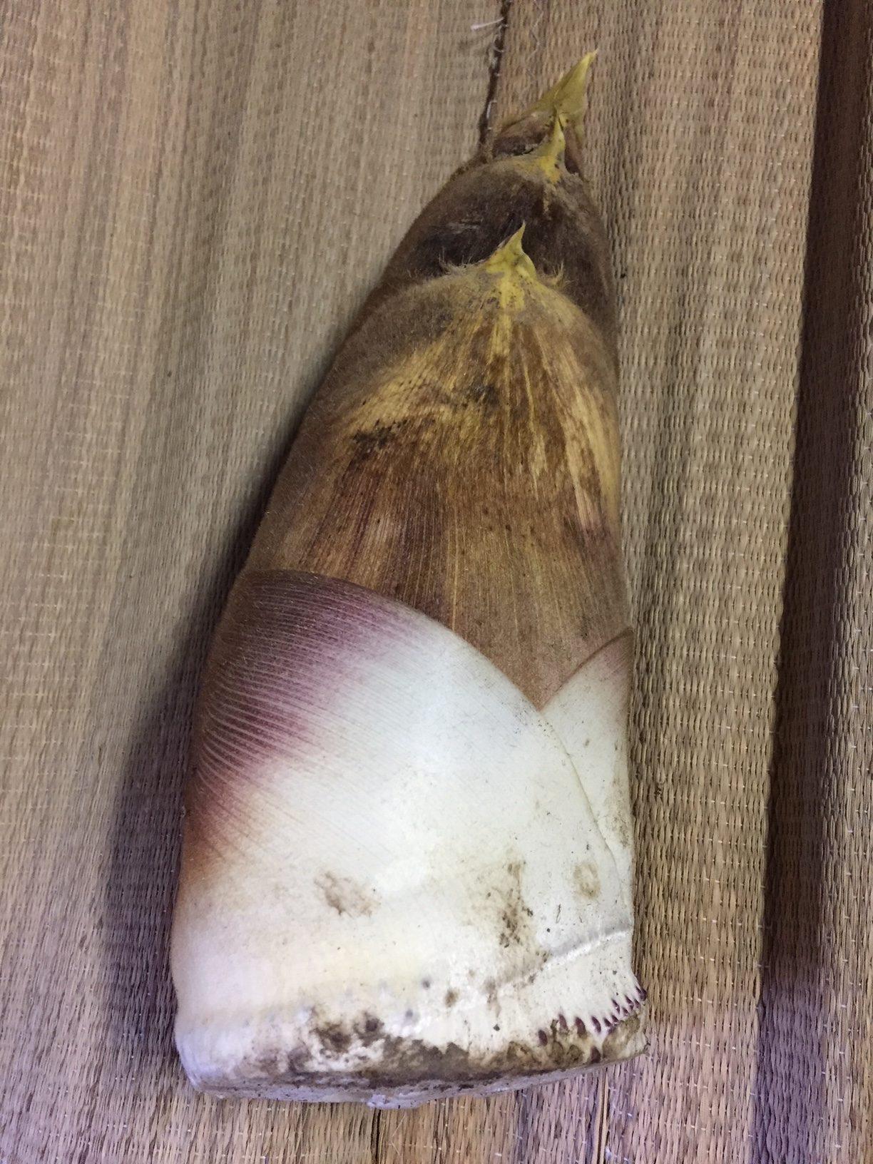 2018年4月10日立派なタケノコ収穫その1