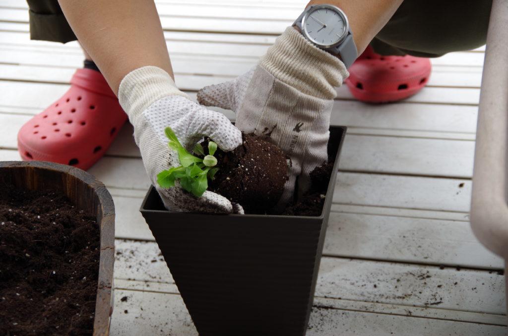 レタスの苗を植える様子