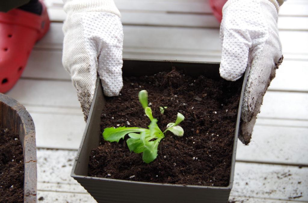 プランターに植えたレタスの苗
