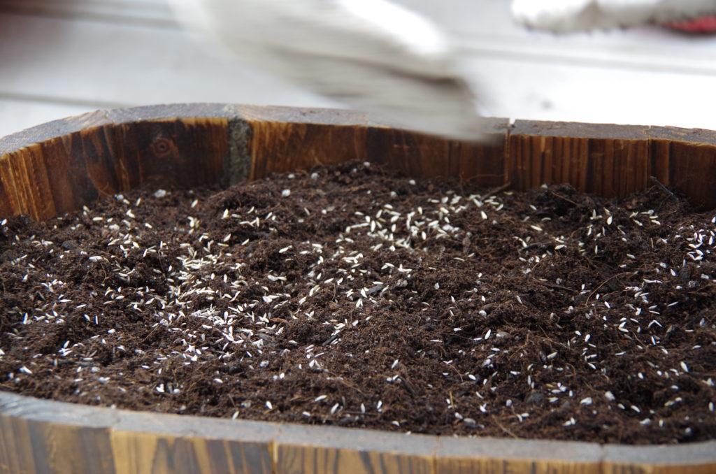 サラダレタスミックスのタネを蒔く