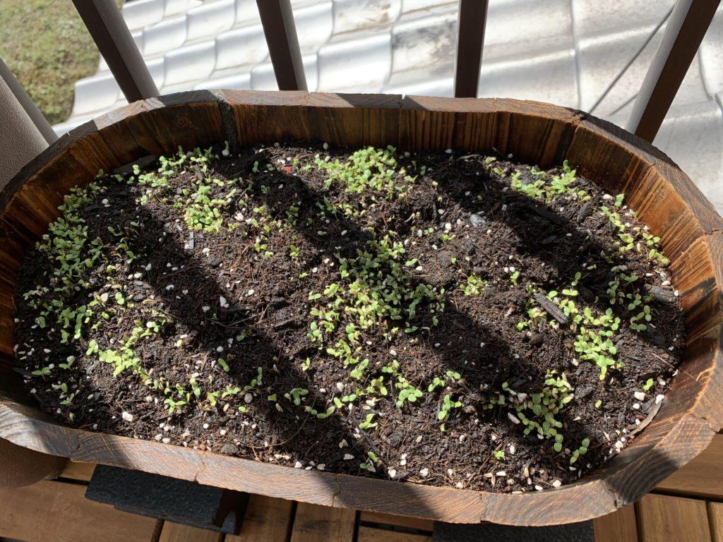 可愛い芽を出したレタスサラダミックス