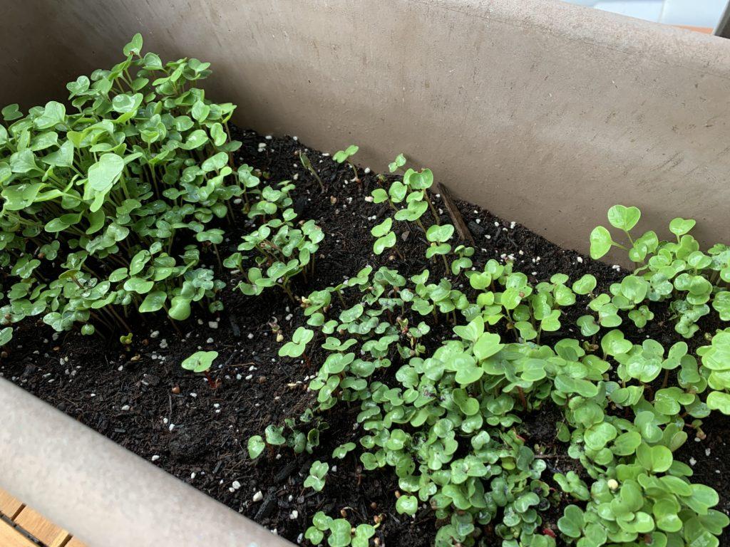 ビッシリと芽が出たはつか大根