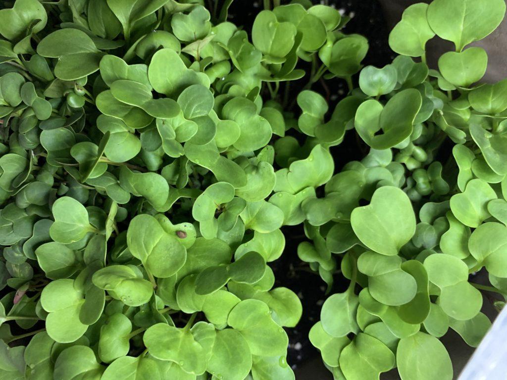 ビッシリと詰まって成長したはつか大根の新芽