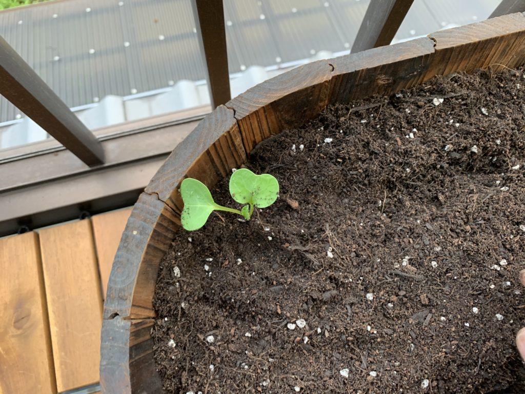 植え替えをしたはつか大根の芽