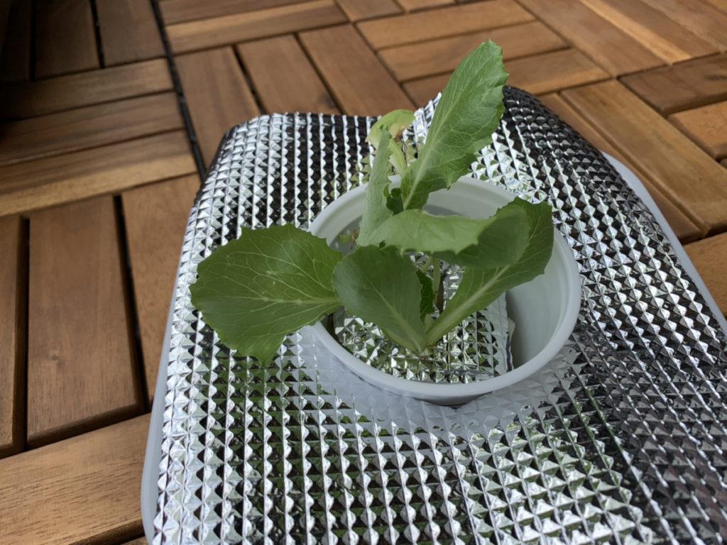 しっかりと遮光用のアルミ箔シートをセットした水耕栽培のレタス