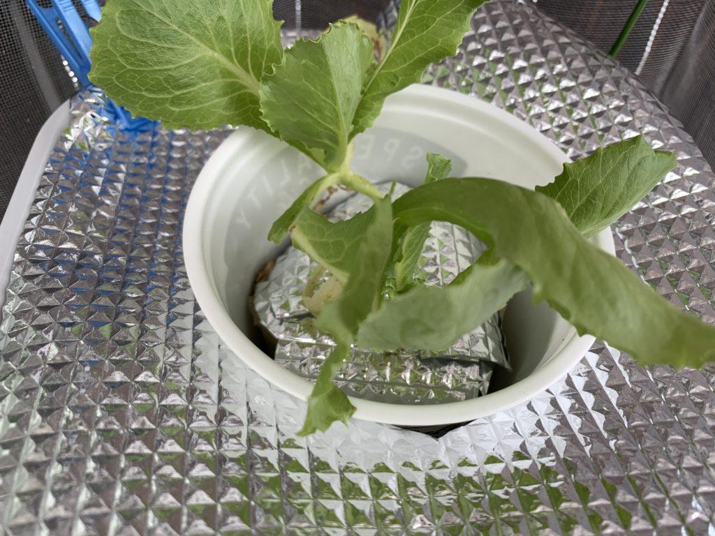ちょっとずつ大きくなってきた水耕栽培で育てるレタス