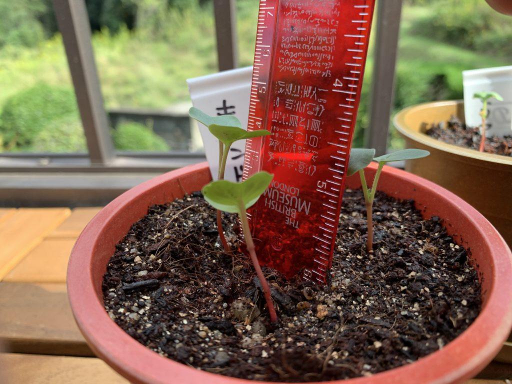 モノサシを使って芽の高さを測る様子