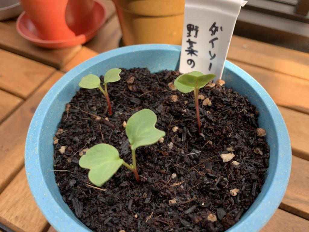 ダイソーの土から芽を出すはつか大根