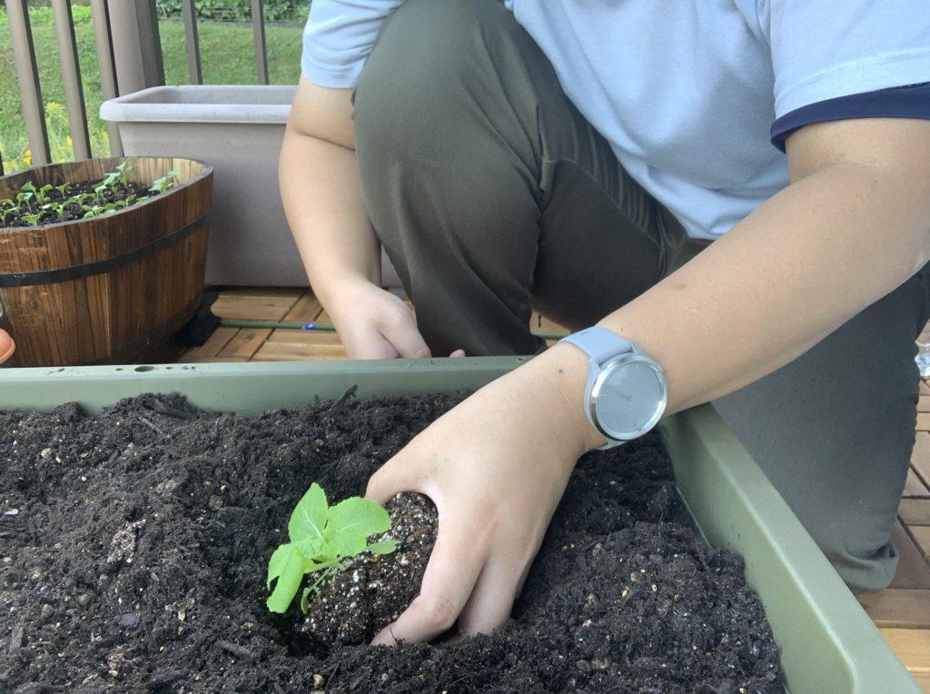 白菜の苗をポットから出す様子