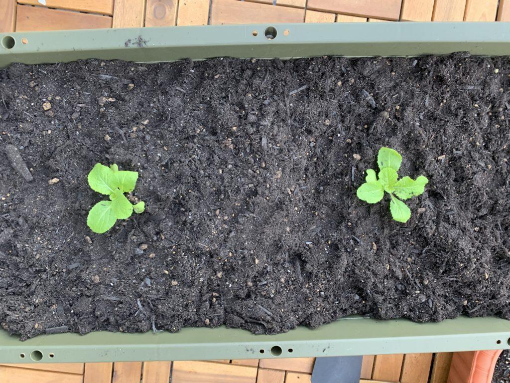 キレイに植え替えできた白菜の苗