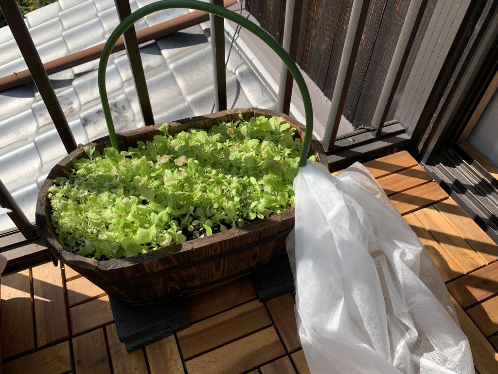 たくさん収穫したサラダレタスミックス