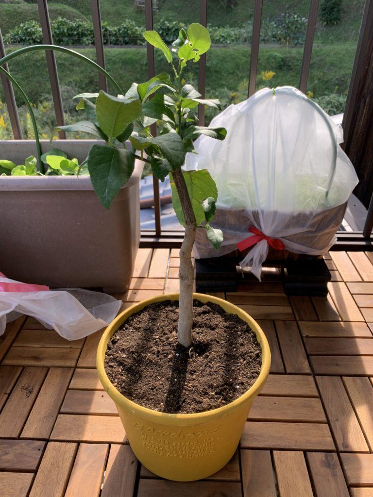 プランターに植えたレモンの苗木