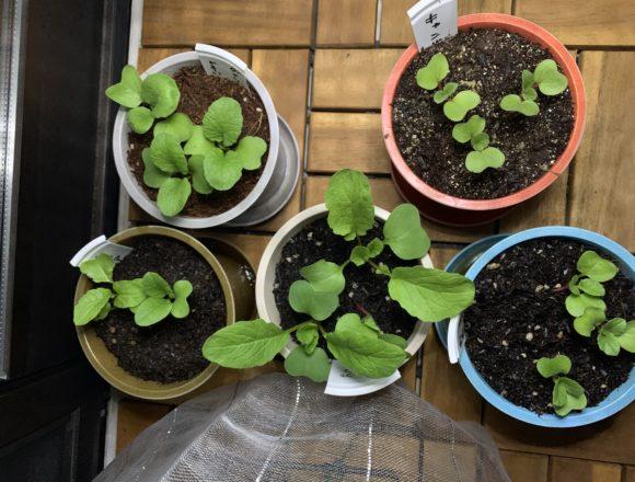 5種類のプランターで育てるはつか大根