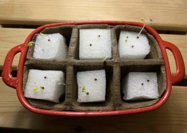 水耕栽培のスポンジから発芽した水菜の芽