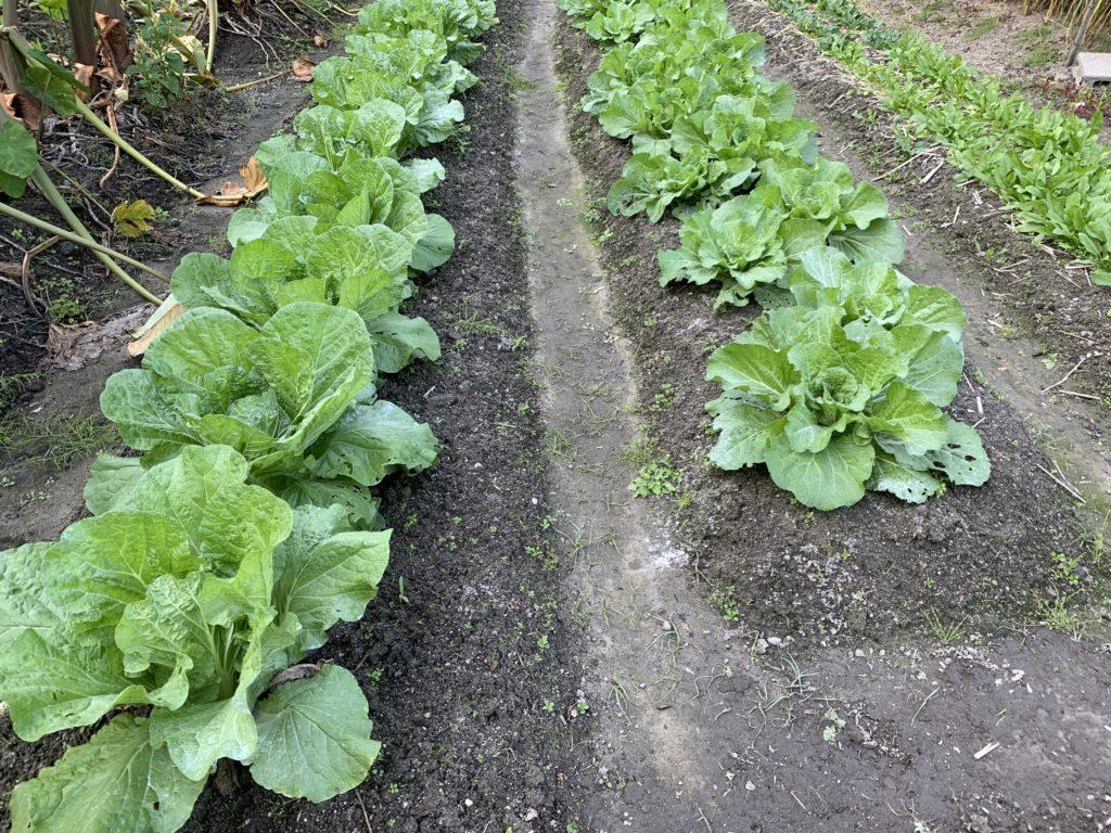 畑に植えた白菜