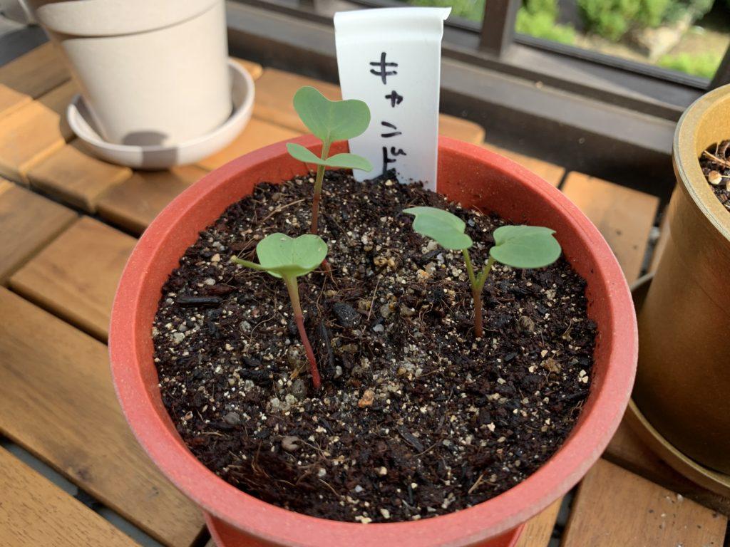 キャン★ドゥの土から芽を出すはつか大根