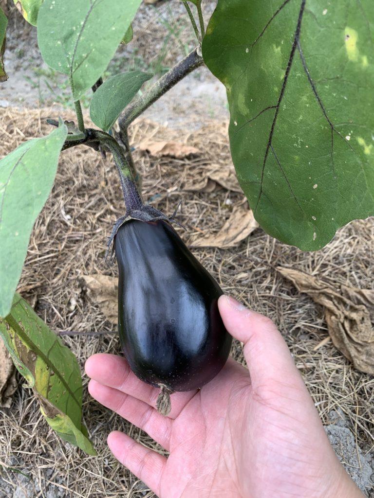 畑で栽培していた茄子