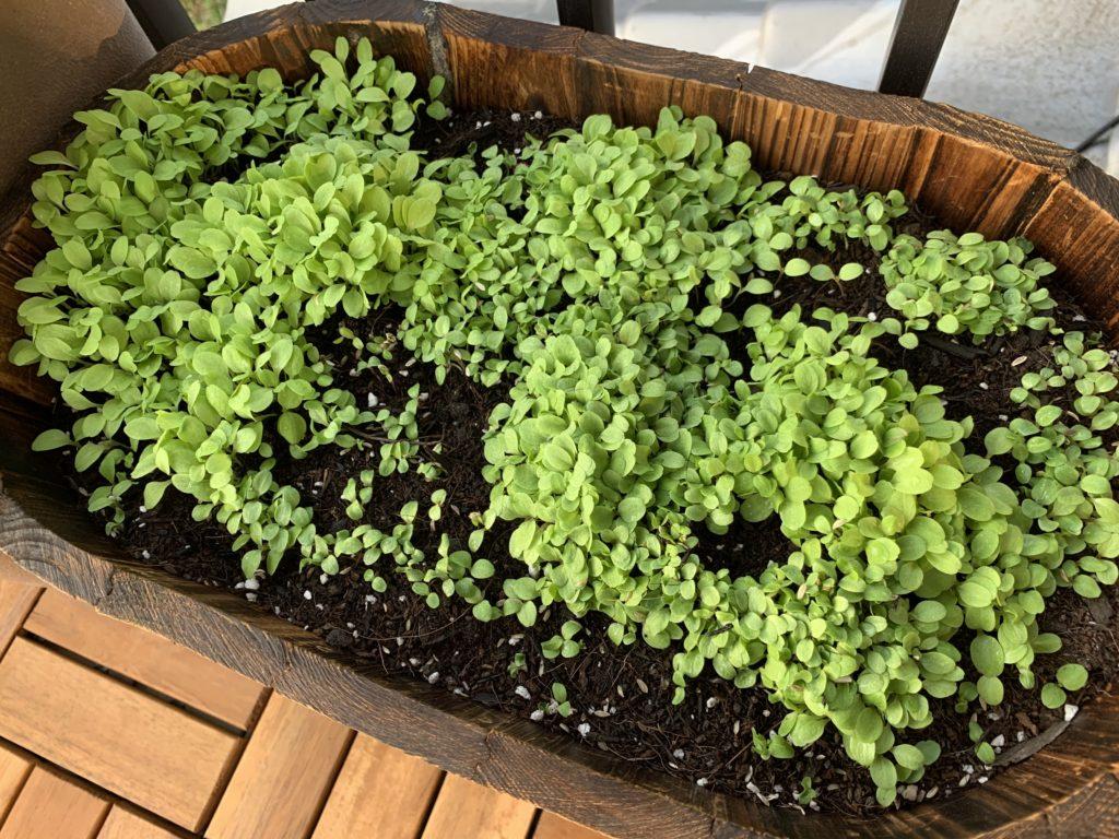 たくさん芽が出たサラダレタスミックス