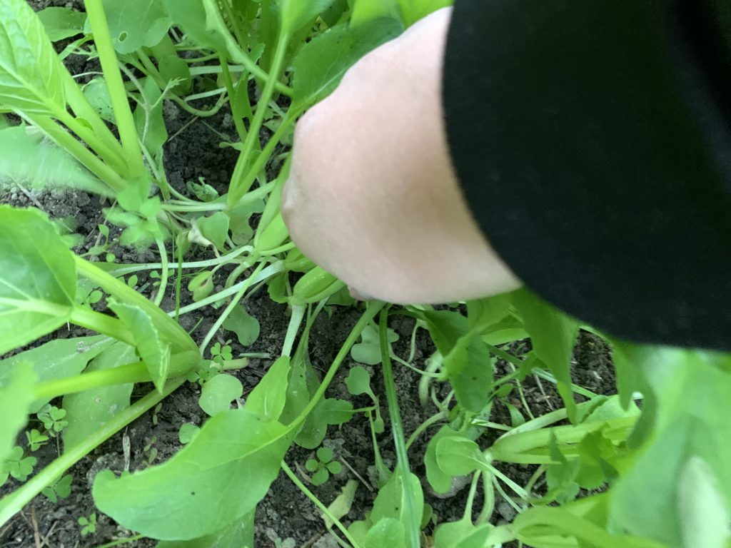 小松菜を収穫する様子