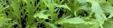 プランターで大きく育っているサラダ水菜