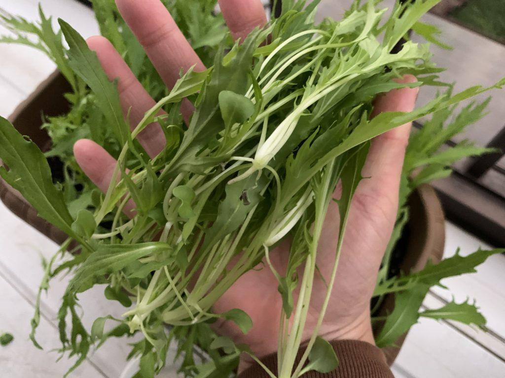 根元からカットし収穫したサラダ水菜
