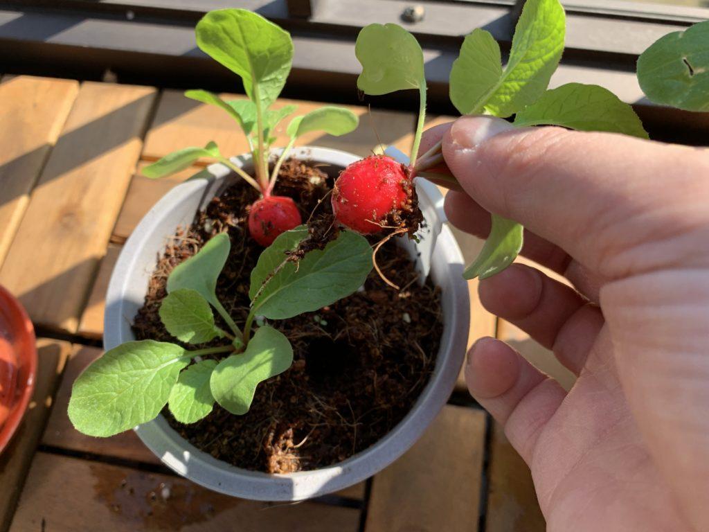 ダイソーの培養土で育てたはつか大根(ラディッシュ)を収穫する様子