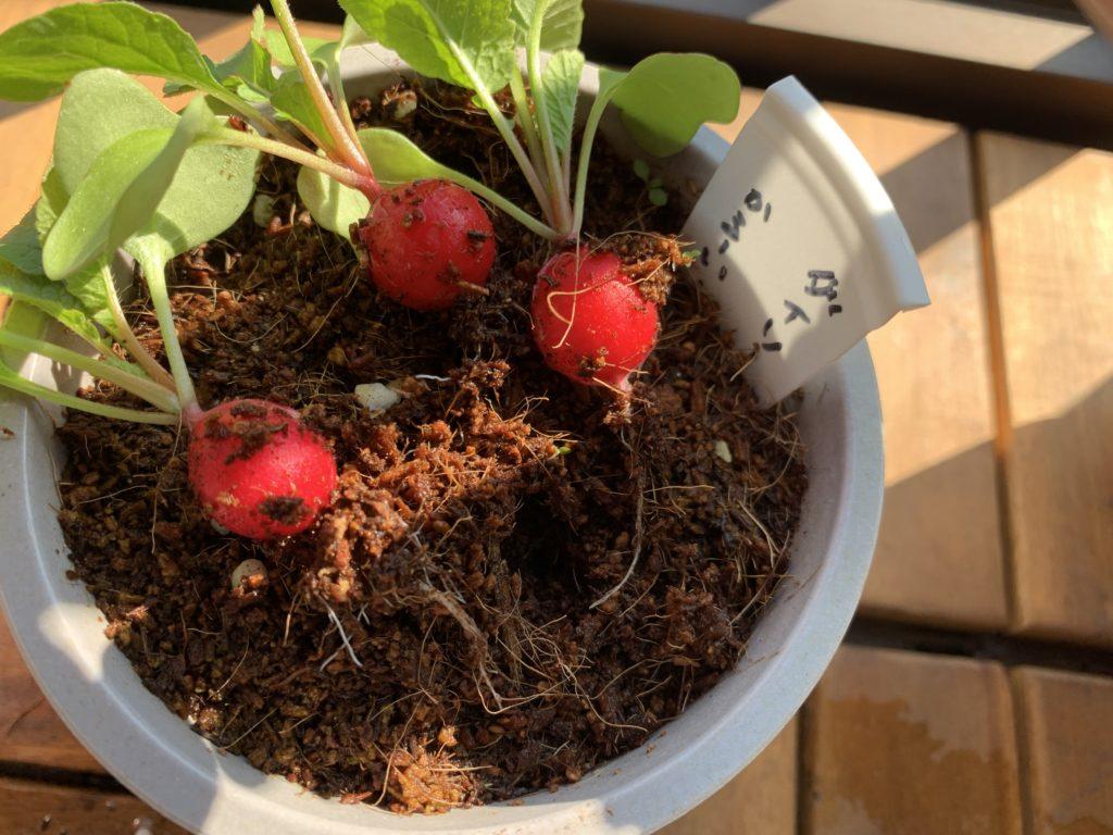 収穫したダイソーの培養土で育てたはつか大根(ラディッシュ)