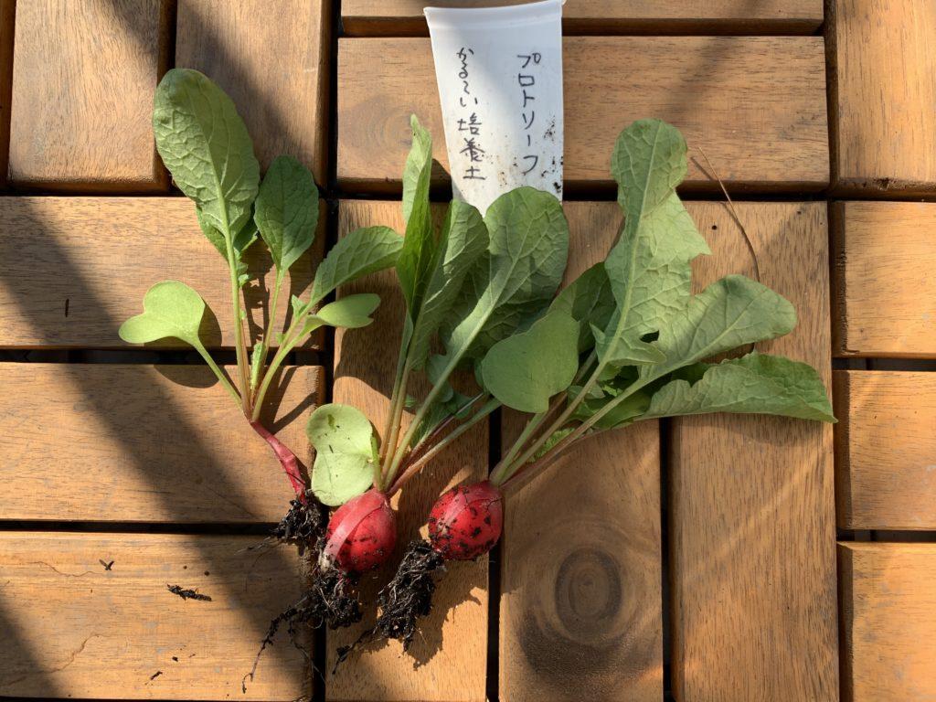 プロトリーフの培養土で栽培したはつか大根(ラディッシュ)