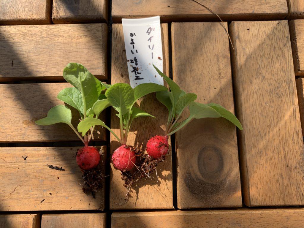 ダイソーの培養土で栽培したはつか大根(ラディッシュ)