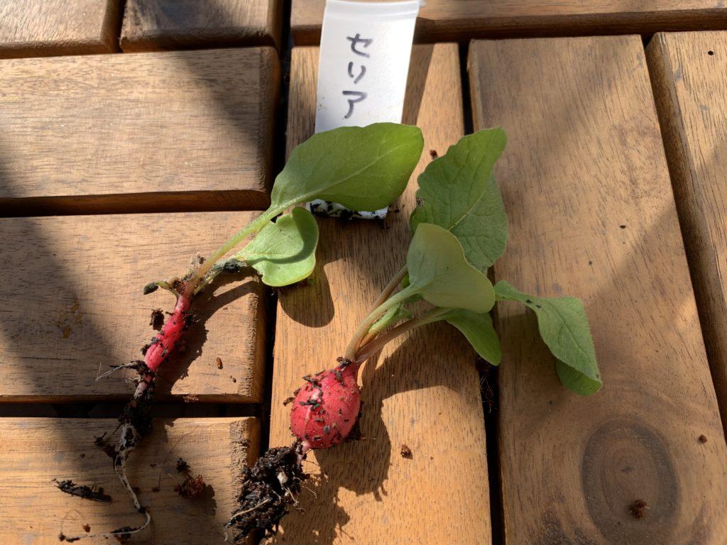 セリアの培養土で栽培したはつか大根(ラディッシュ)