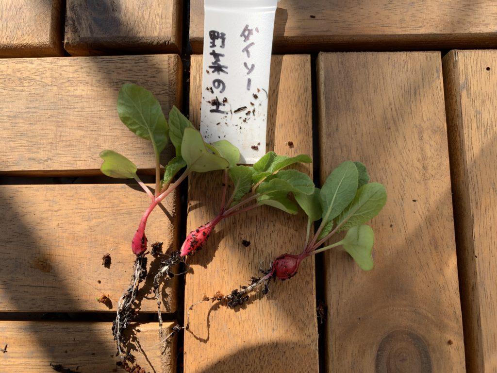 ダイソーの野菜の土で栽培したはつか大根(ラディッシュ)