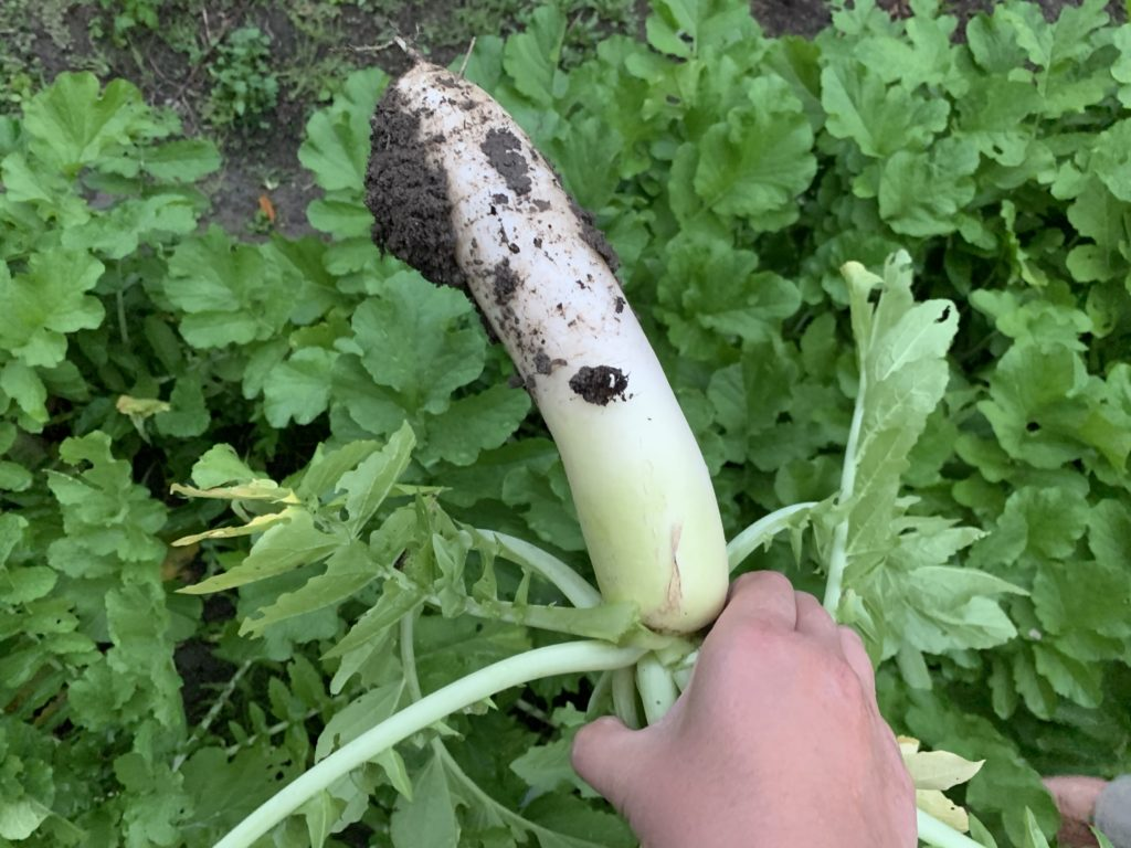 畑から収穫した大根