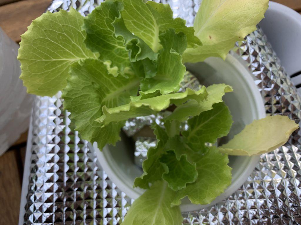 水耕栽培で育てているレタス