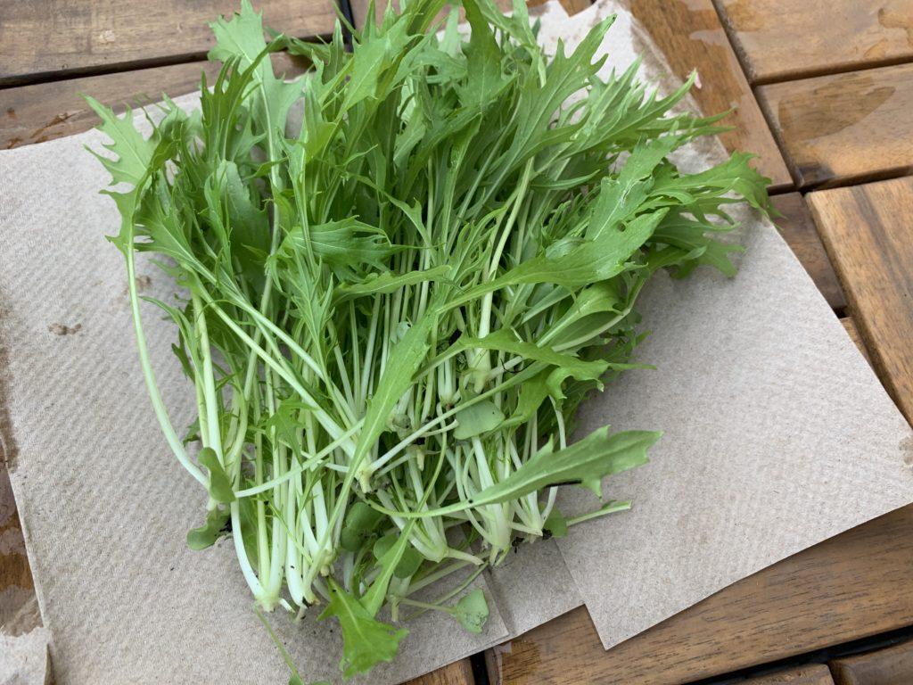 収穫したばかりのサラダ京水菜