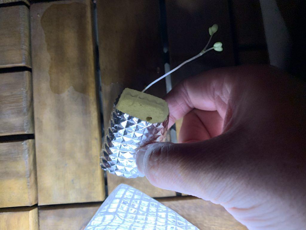 タネが定植したスポンジにアルミ箔シートを巻いた様子