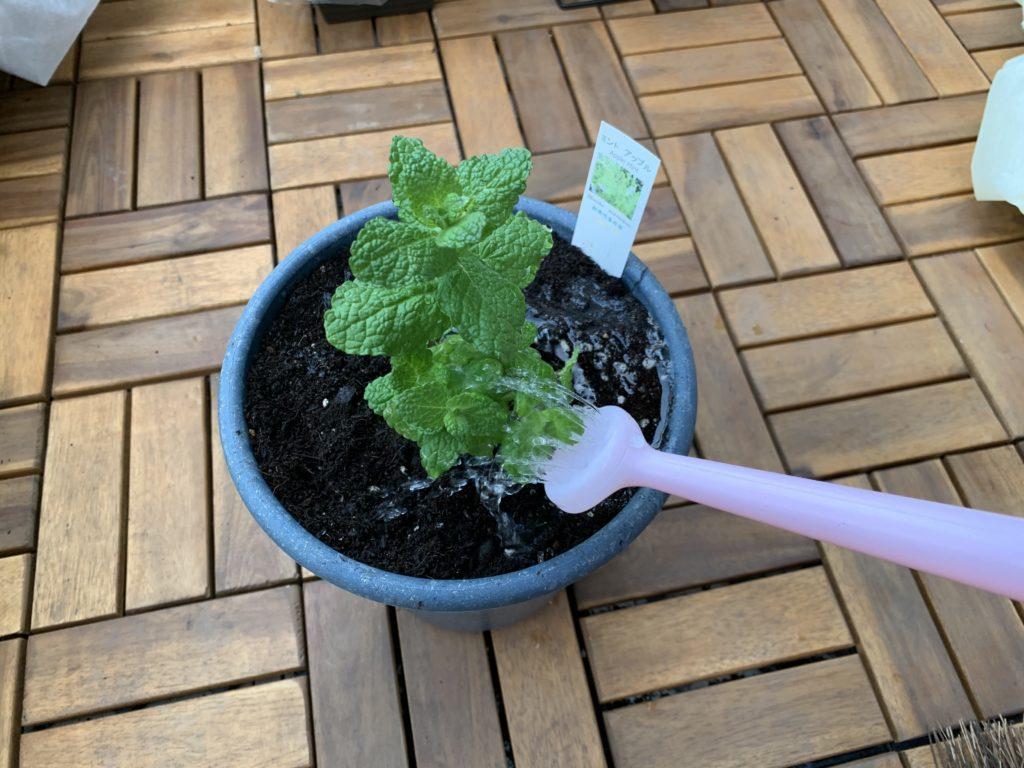 アップルミントの苗にたっぷりお水をあげる様子