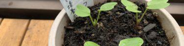 プランターの中で可愛い芽を出したはつか大根の芽