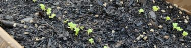 プランターの中で可愛い芽を出したサラダ京水菜のタネ