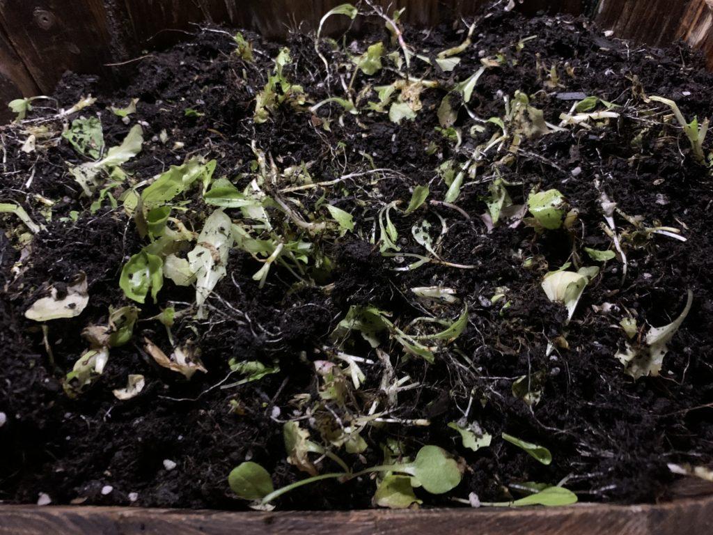 培養土の中に残った根っこや茎