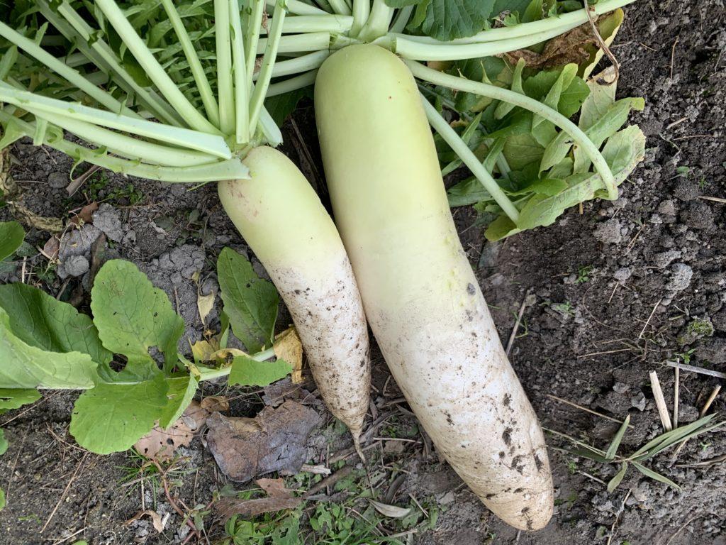 収穫した大きさの違う大根