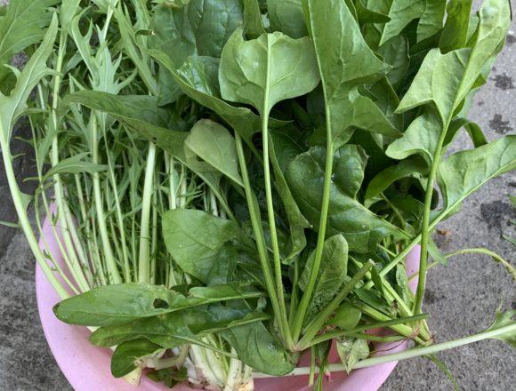 たくさん収穫したほうれん草と水菜