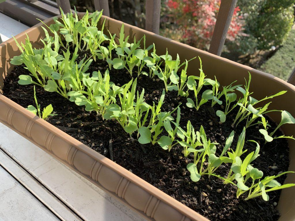 すくすく成長するサラダ京水菜