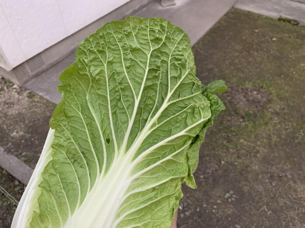 緑の色が鮮やかな収穫したばかりの白菜